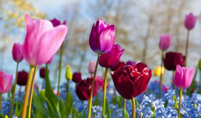 Blomstercruise fra Amsterdam