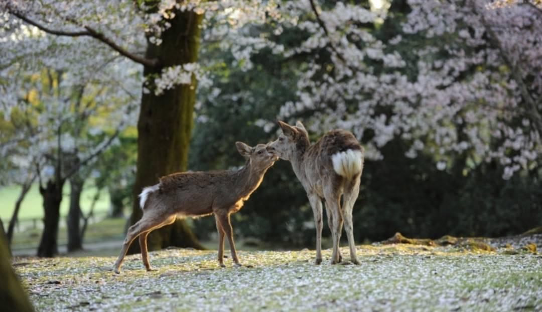Rådyr under blomstrende kirsebærtrær i Nara, Japan